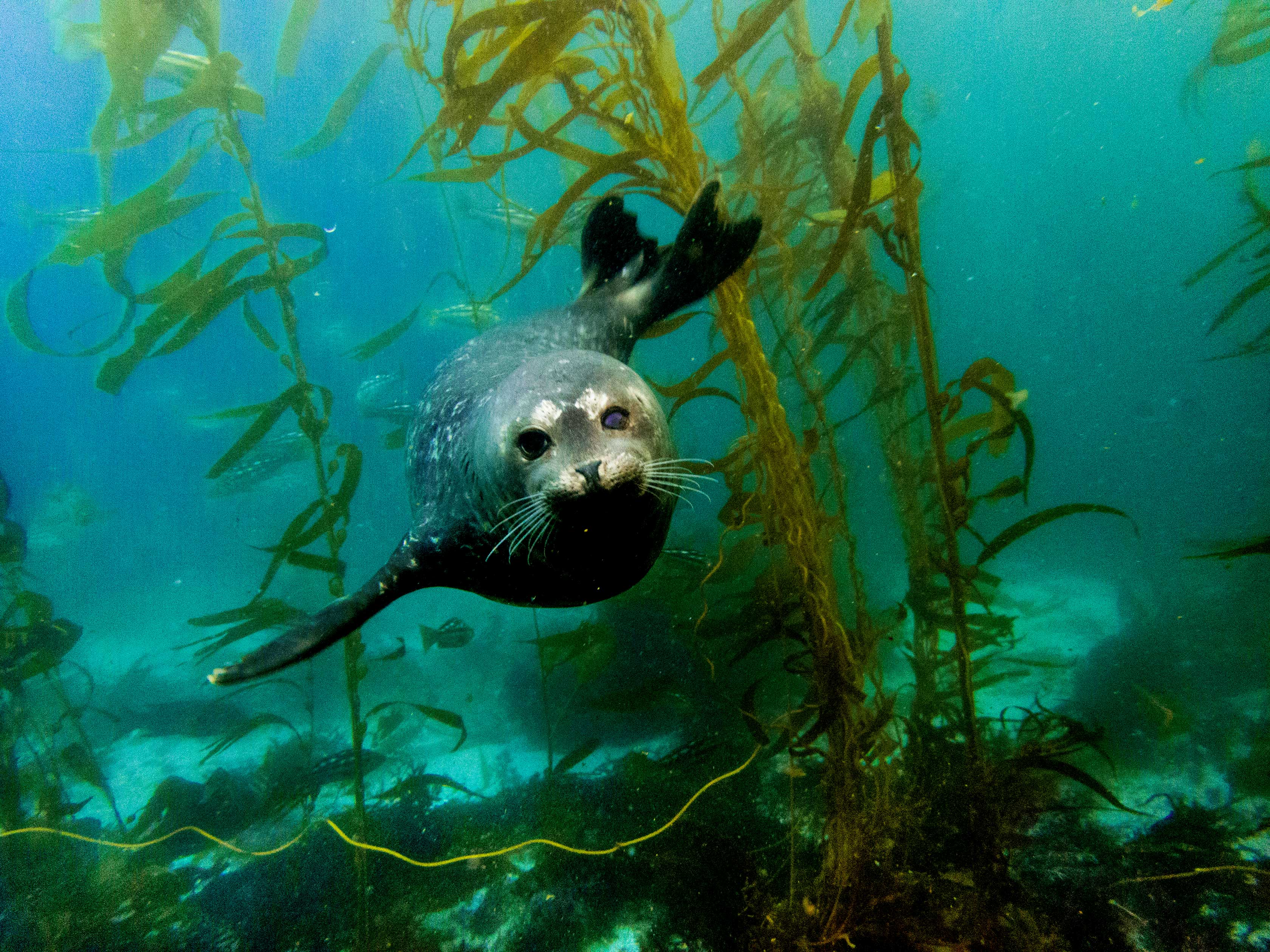 Seal looking directly at the camera while swimming in kelp forest