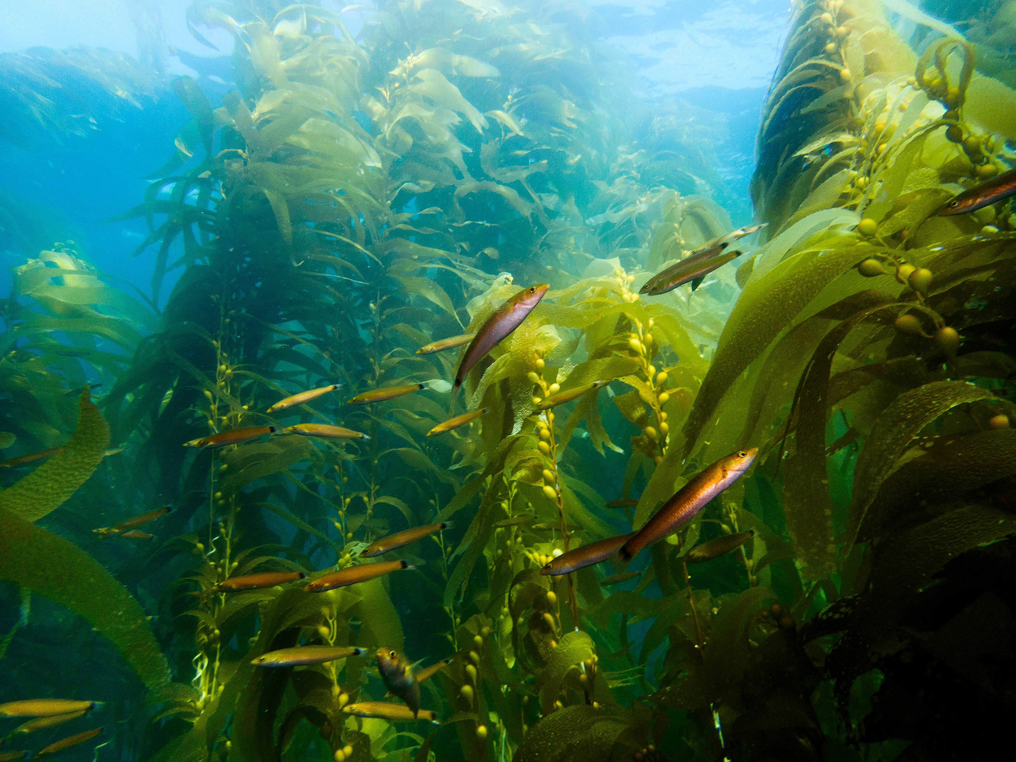 Giant kelp forest populated by kelp fish