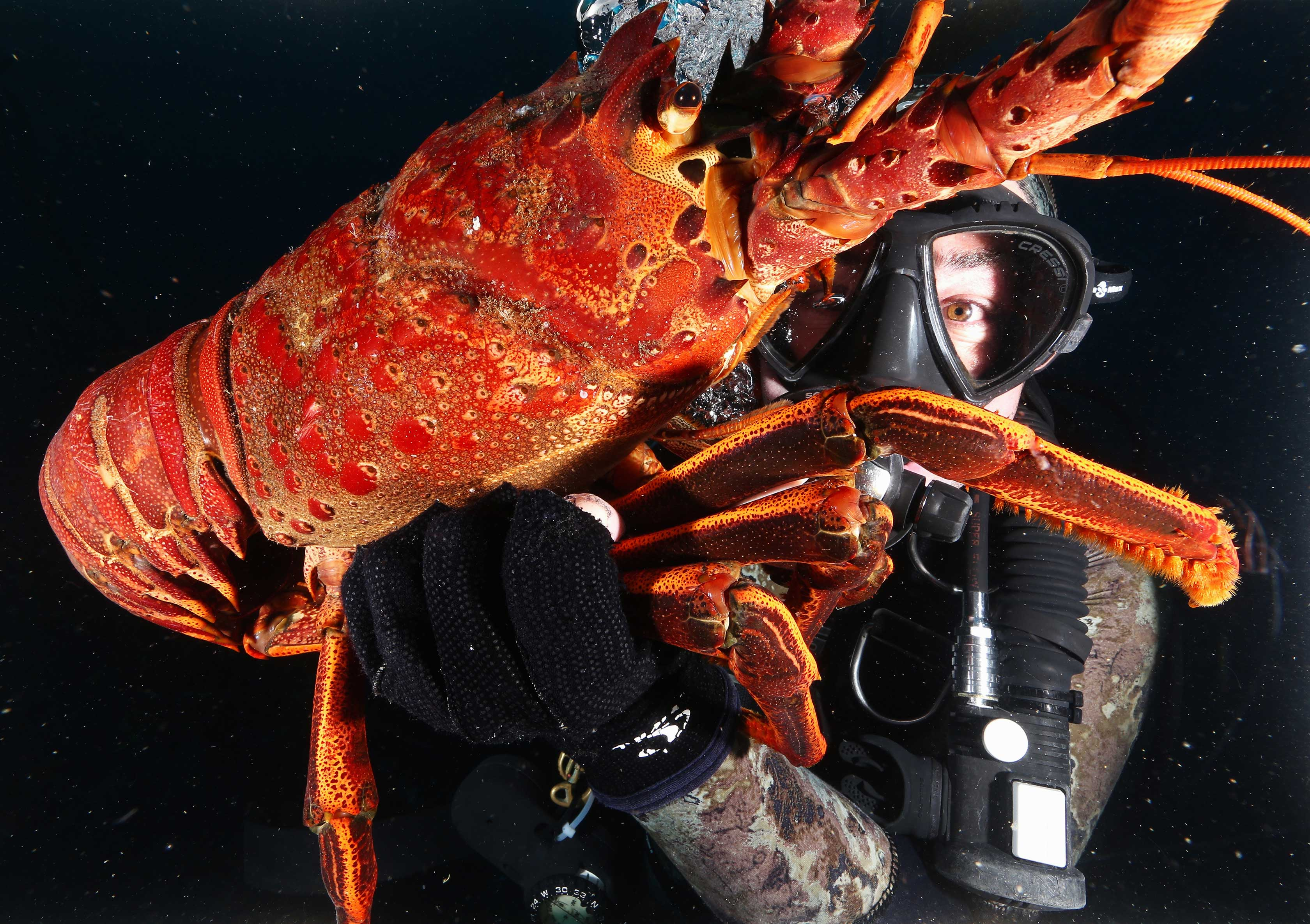 Research diver holding a huge lobster underwater