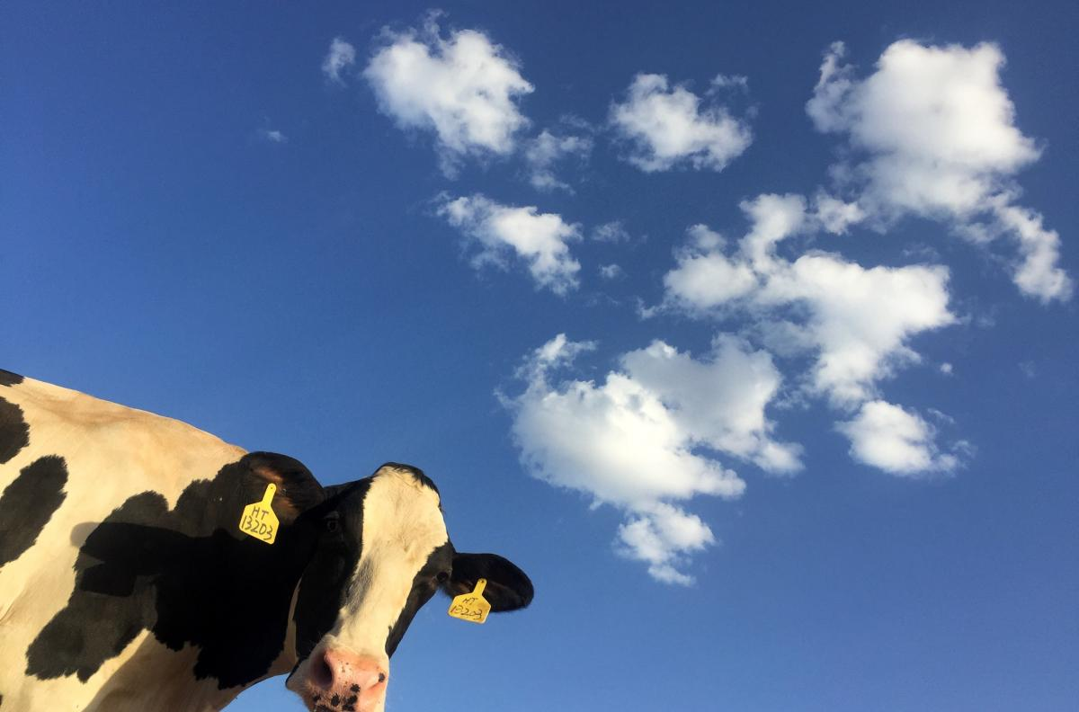 cow face against a background with blue sky, and white clouds
